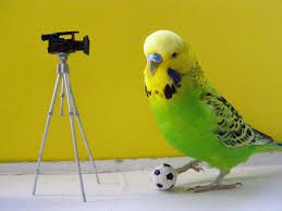 Image result for cute budgies wallpaper