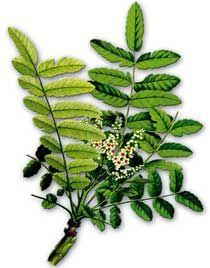 La curcumine, un ingrédient actif extraite du curcuma (Curcuma longa), possède des propriétés anti-inflammatoires importantes contre l'insuffisance rénale chronique.