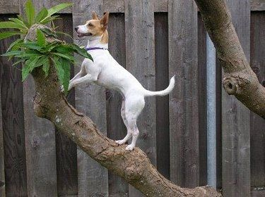 "Miniature Fox Terrier...... I used to have one similar to this named ""Nippa"" he was such a lovable character and a very brave watchdog  (he lived to 14yo).  He was feared by many but didn't climb trees!"