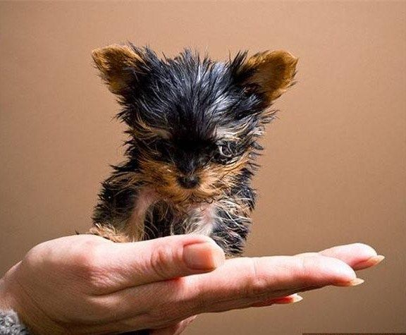 the smallest in the world dog