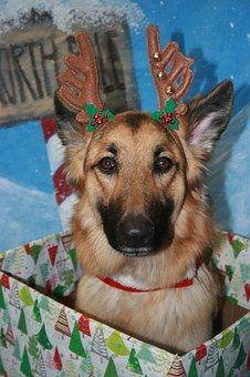 German Shepherd, Christmas, Dog