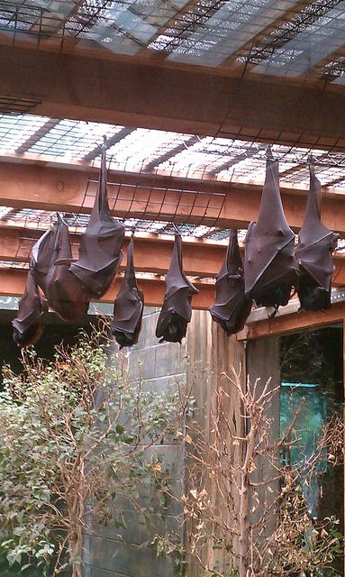 These look like the flying foxes at the columbus zoo! I love them so much