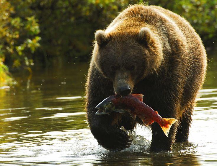 oso pardo, oso pardo, fotos pardos, marrones fotos del oso, vida salvaje de Alaska, osos de Alaska, Alaska fotos de la fauna, alaska fotos del oso, de la fauna de estados unidos, estados unidos fotos de la fauna, la Bahía de Bristol, Bristol Bay fauna, pesca oso, pesca pardo