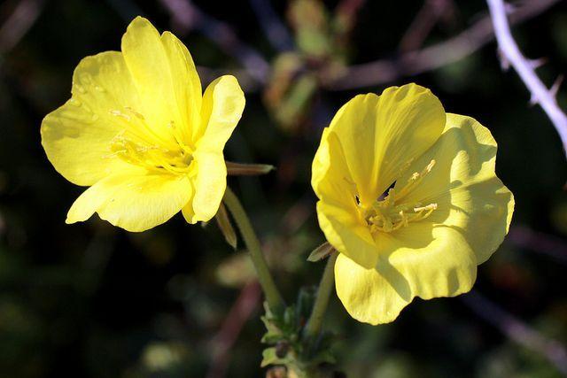 Las mejores plantas medicinales para la alergia: La onagra, para prevenir la alergia