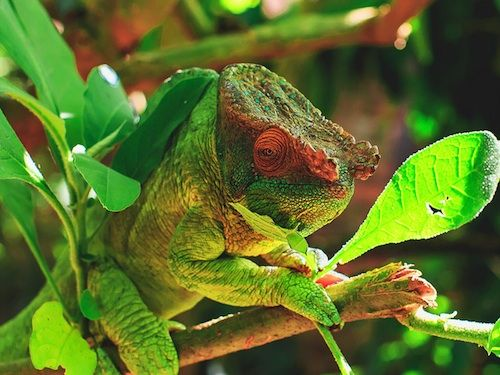 "Parsons Chameleon for Sale - ""We have some ultra rare Parson's chameleons for sale. This Madagascan giant is the largest species of chameleon in the world, attaining a length of up to 28 inches! When you buy a lizard from us, you automatically receive our 100% live arrival guarantee""."