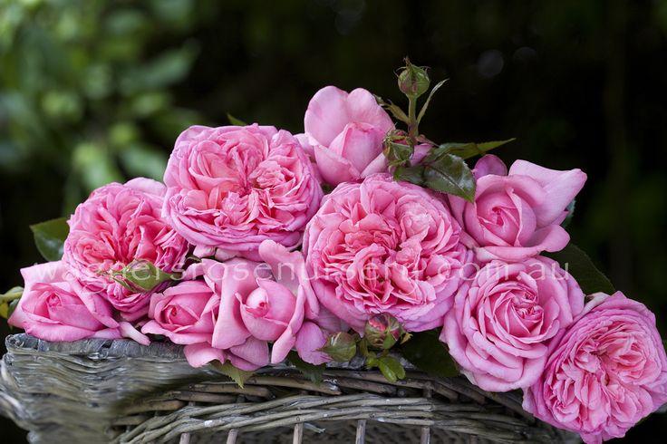 Parfum de Paris.  Delbard French roses