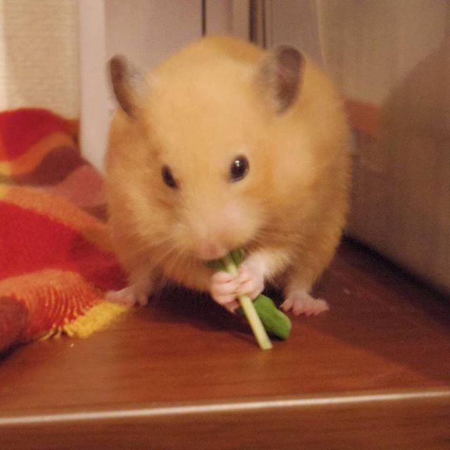 . 豆苗もぐもぐ . 食べるの早すぎてブレます。 . #キンクマ#キンクマハムスター#ハムスター#ふわもこ部 #小動物#ペット#豆苗#pet#animal#hamsterキンクマハムスター,ふわもこ部,pet,hamster,animal,ハムスター,豆苗,キンクマ,ペット,小動物