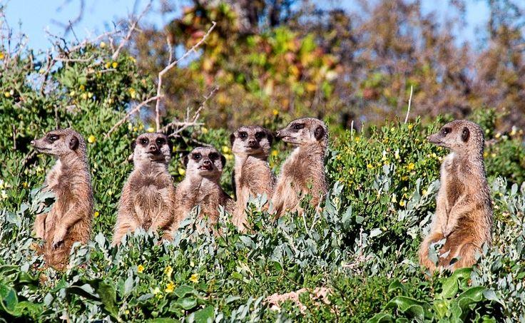 Meerkats Safaris at Buffelsdrift Game Lodge in Oudtshoorn