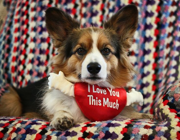 A Very Corgi Valentineu0027s Day!   The Daily Corgi