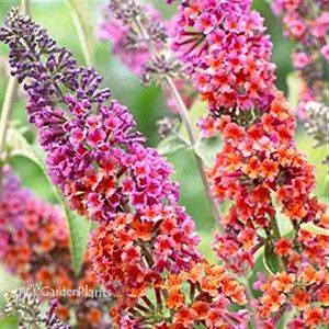 """'Bicolor' Butterfly Bush Buddleia 'Bicolor'  First Bicolor Fragrant Lavender and butterscotch yellow flowers on panicles upto 10"""" long Compact habit Butterflies magnet  Height: 6-8 feetSpread: 6-8 feet Bloom Season: Summer, Late Summer, Fall"""