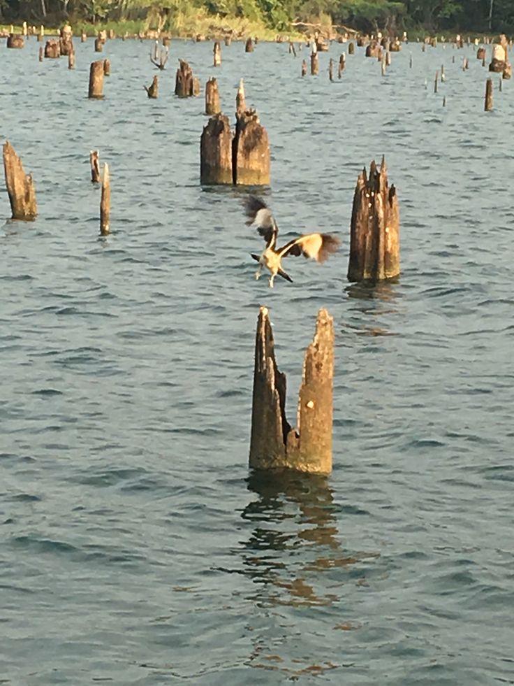 Águila en el lago gatun
