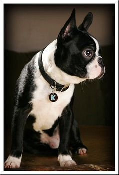 boston terrier dog names best 25 boston terrier names ideas on pinterest boston 7223