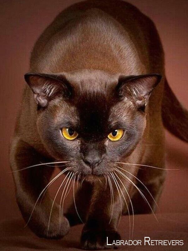 Labrador Retriever Intelligent And Fun Loving Brown Cat Kittens Cute Animals