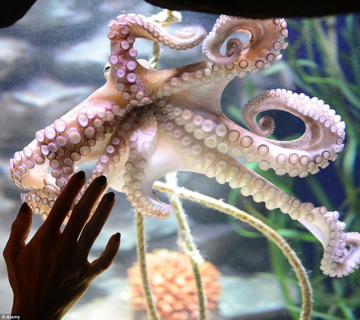 A common octopus at the AquaDom and Sea Life Berlin. Former boxing world champion Regina H...
