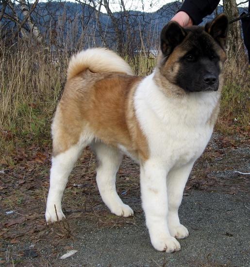 American Akita. Beautiful dogs