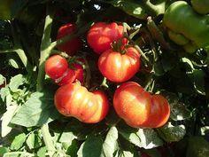 El huerto del Lopez: Variedades de Tomates