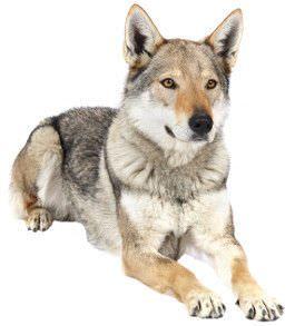 Tschechoslowakischer Wolfshund Wesen