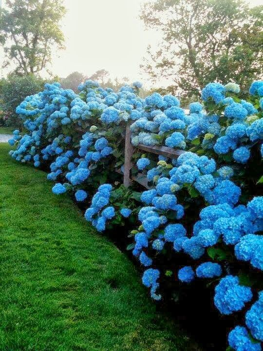 How to Turn Hydrangeas Blue - via Serenity in the Garden