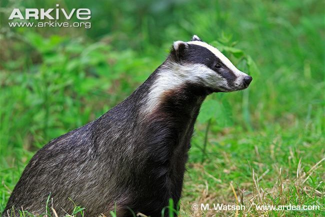With its striking black and white striped head, the badger (Meles meles)is one of our most instantly recognisable mammals. The rest of the stocky body appears grey, and the legs, throat, neck...