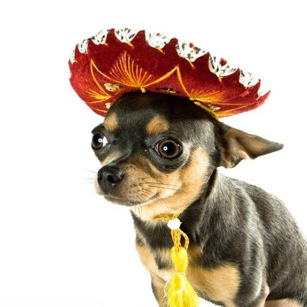 Chihuahua (dog) - Wikipedia