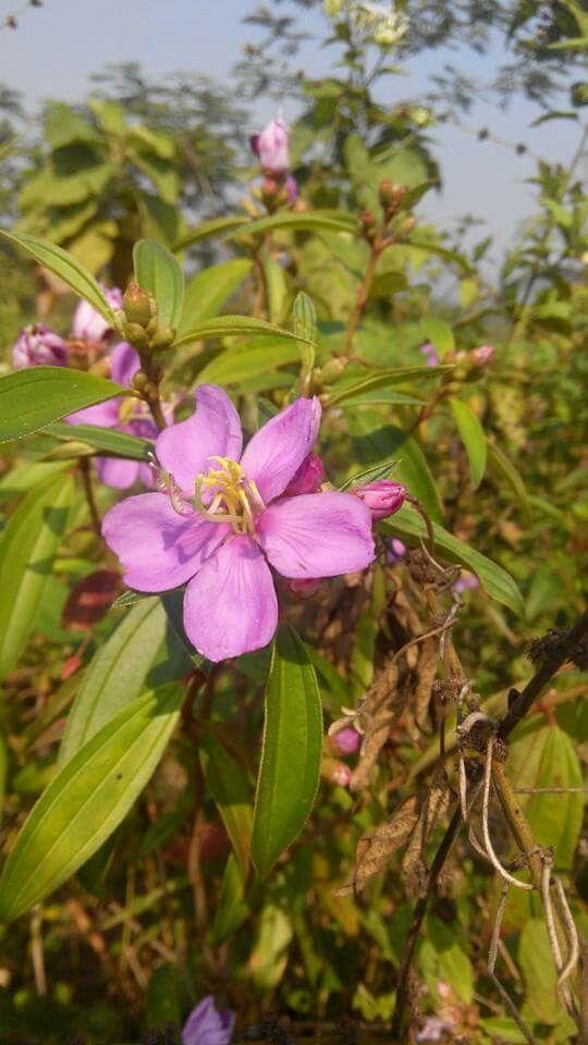 Senggani flower