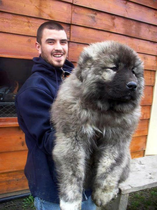 Caucasian shepherd puppy…holy crap this is a big dog!!!