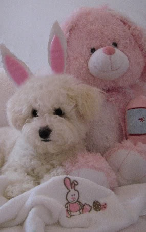 My wee bunny girl, Mitsy the Bichon