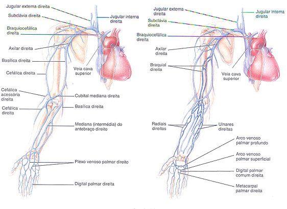 Aula de Anatomia - Sistema Cardiovascular - Sistema Venoso