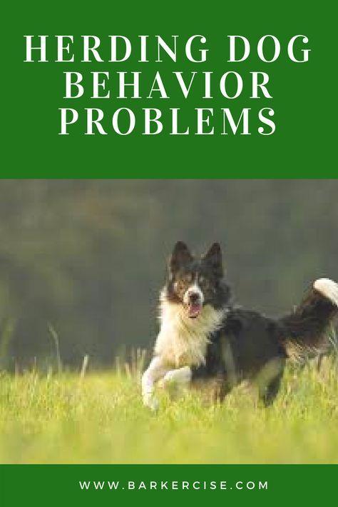 Herding Dog Behavior Problems And Solutions Herding Dogs Border