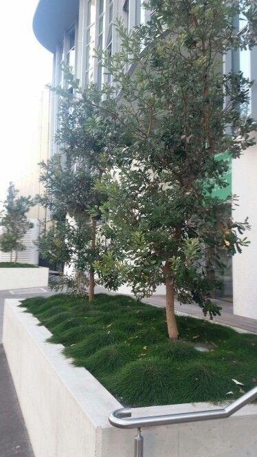 Banksia integrifolia and Casuarina glauca (prostrate form)