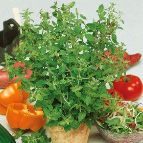 GREKISK OREGANO i gruppen Krydd- och Medicinalväxter / Kryddväxt hos Impecta Fröhandel (3149)