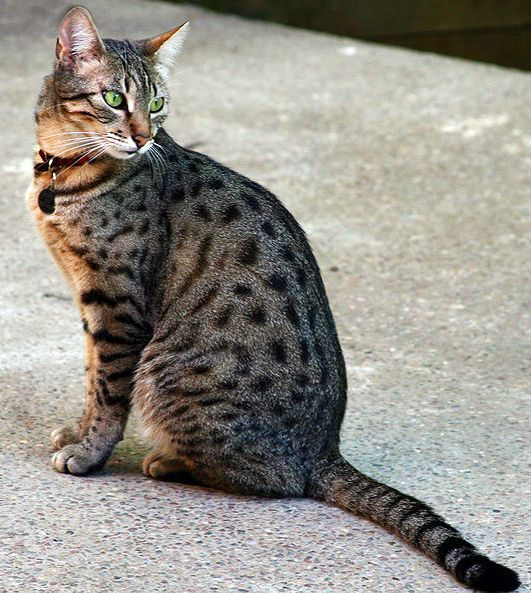 Egyptian Mau - The Egyptian Mau bears a striking resemblance to paintings of ancient Egyptian cats.  These active, athletic cats have the spotted tabby pattern resembling wild cats but are fully domesticated.  They come in colors such as bronze spotted and silver spotted and are the only naturally spotted domestic cat.