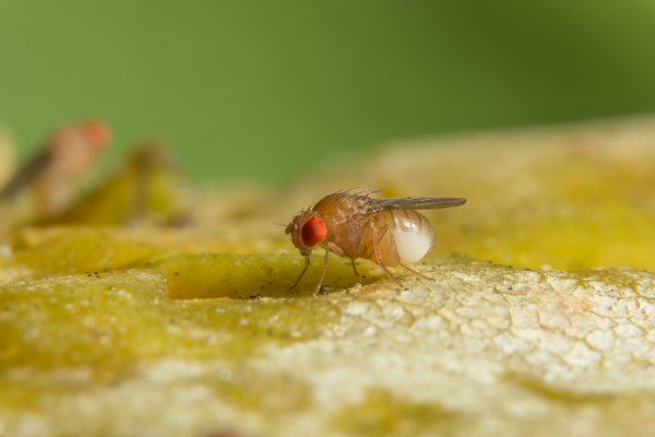 ff5434c1aa19a27b99ff88a7f351f4d6 - How To Get Rid Of Green Flies In The House