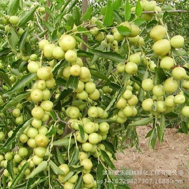 Toptan Guoguang hünnap hünnap tohum meyve daha doğrudan Bordo 5 Tohumları/Paketi