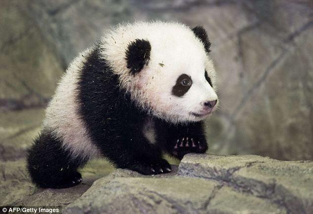 Washington, DC's National Zoo's baby panda Bao Bao appears in ...