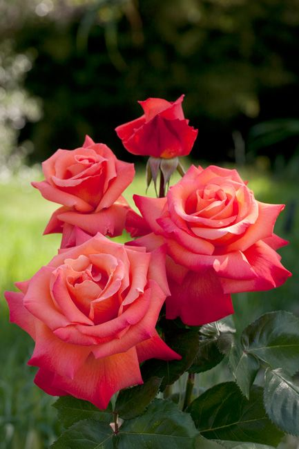 MEILLAND International | Rose trees | Hybrid teas