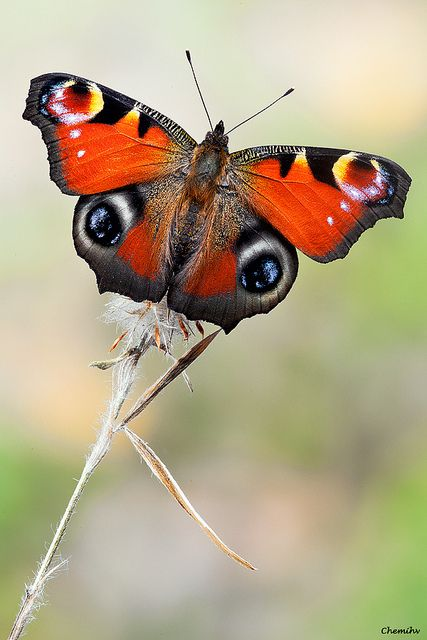 Royal Peacock Butterfly (Inachis io)