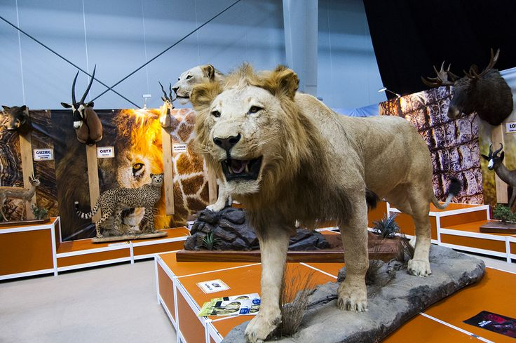 Majestic lioness and lion trophies seen during Polish Hunting Fairs - Hubertus EXPO 2015. Hunt beautiful beasts of the wild with us!