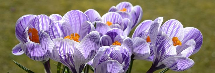 Krokus, Kwiat, Wiosna, Charakter