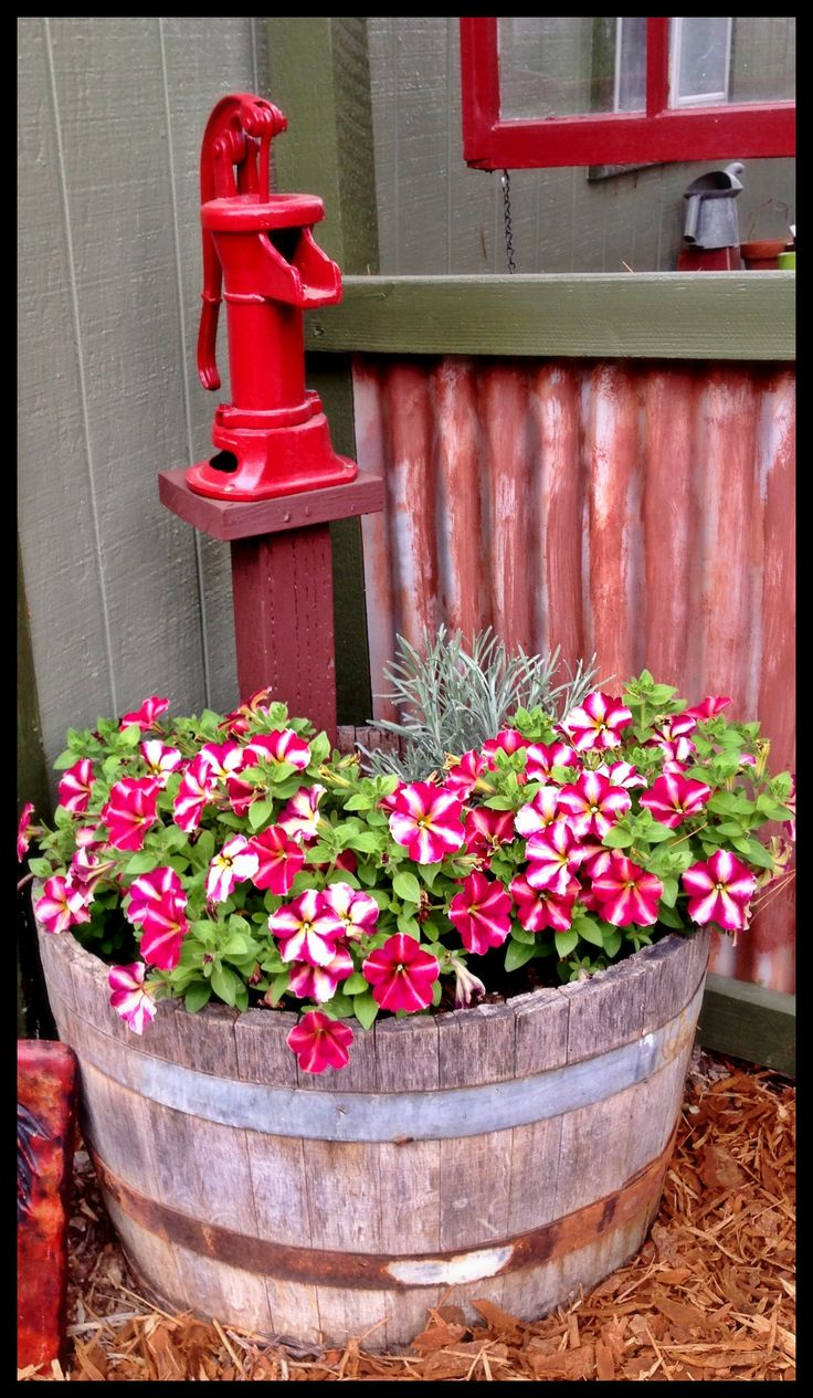 Striped zinnias in wine barrel with old water pump.
