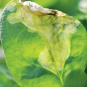 Preventing Pests: Spinach Leafminer: Organic Gardening DO NOT ADD THESE TO YOUR COMPOST PILE!!