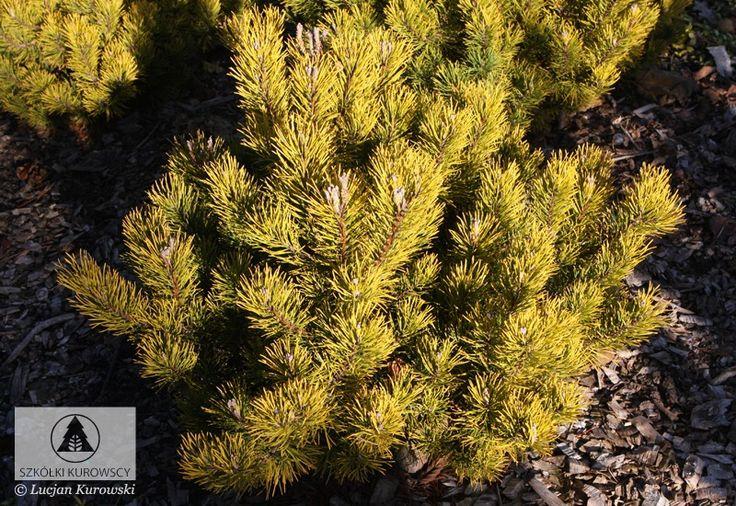 Pinus mugo 'Dezember Gold' -