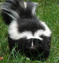 Rid your pet of skunk spray smell with baking soda, liquid dish washing soap, and hydrogen peroxide.