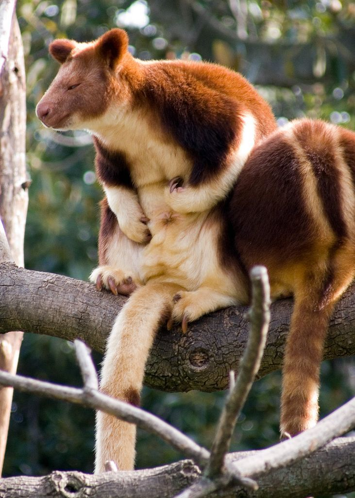 Goodfellow's tree kangaroo (Dendrolagus goodfellowi)by Tim Williams: Native to the rainforests of New Guinea and parts of Indonesia, it has strong hooked claws for grasping tree limbs and a long tail for balance. With a big, furry belly! http://en.wikipedia.org/wiki/Goodfellow's_tree-kangaroo https://www.flickr.com/photos/timmythesuk/202658559/ #Tree_Kangaroo