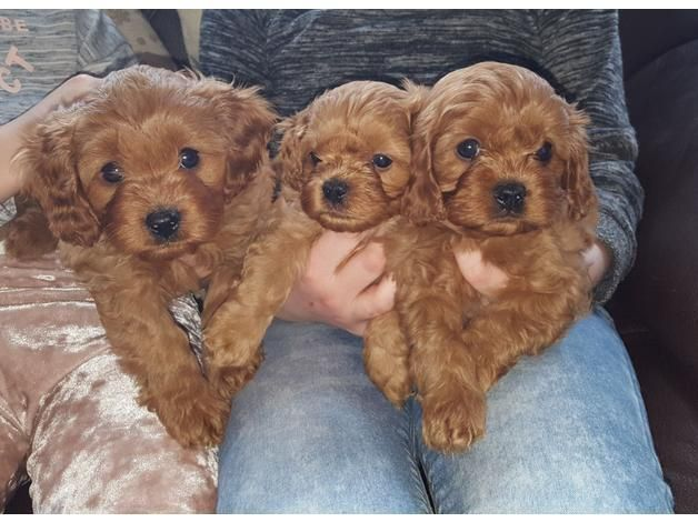 Since Cavapoo Puppy Is A Mixed Breed So Their Appearance May Vary