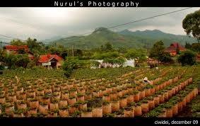 kebun strawberry di Bandung..yammy^^