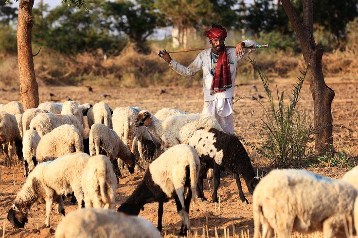 Um pastor Rabari em trajes tradicionais, levando seu saco de água e latas de gasolina em uma vara por cima do ombro. Os Rabari são uma casta tribal indiana de pastores nômades de gado e camelos que vivem no noroeste da Índia, principalmente nos estados de Gujarat e Rajastão, e alguns estados no Paquistão, especialmente na região do deserto de Sindh.  Fotografia: Sayid Budhi (DocBudie) no Flickr.