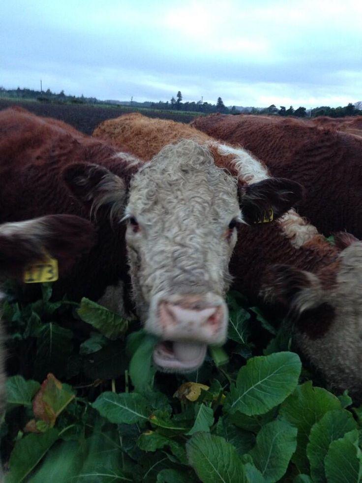 cows go whacko for brassico