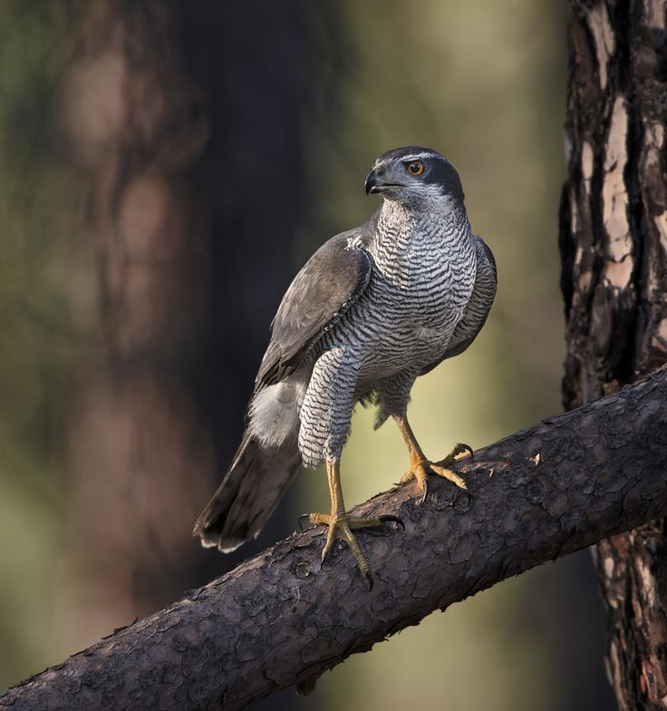 """Birdwise, Breckland is renowned for the swarthy, buzzard-sized goshawk. Normally reclusive hunters, pairs turn extrovert in early spring. Displaying duos 'sky dance' on fine days, circling high before plummeting to the canopy."" 52 Wildlife Weekends www.bradtguides.com"