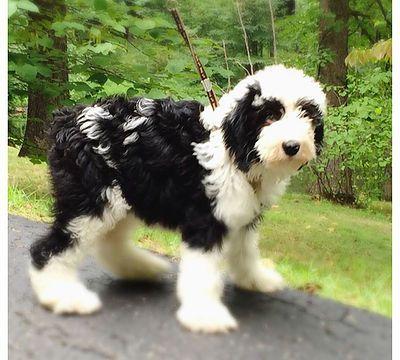Img 0682 Jpg Sheepadoodle Sheepadoodle Puppy Schnoodle Puppy